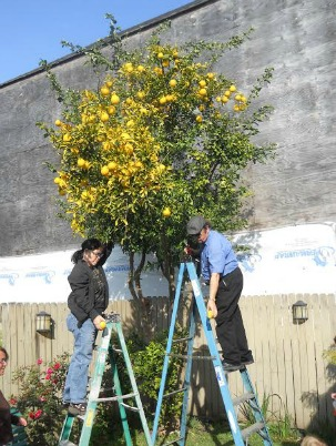 Project harvests fruit from local trees for the community