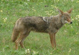 Wild coyotes roaming City Park, officials say