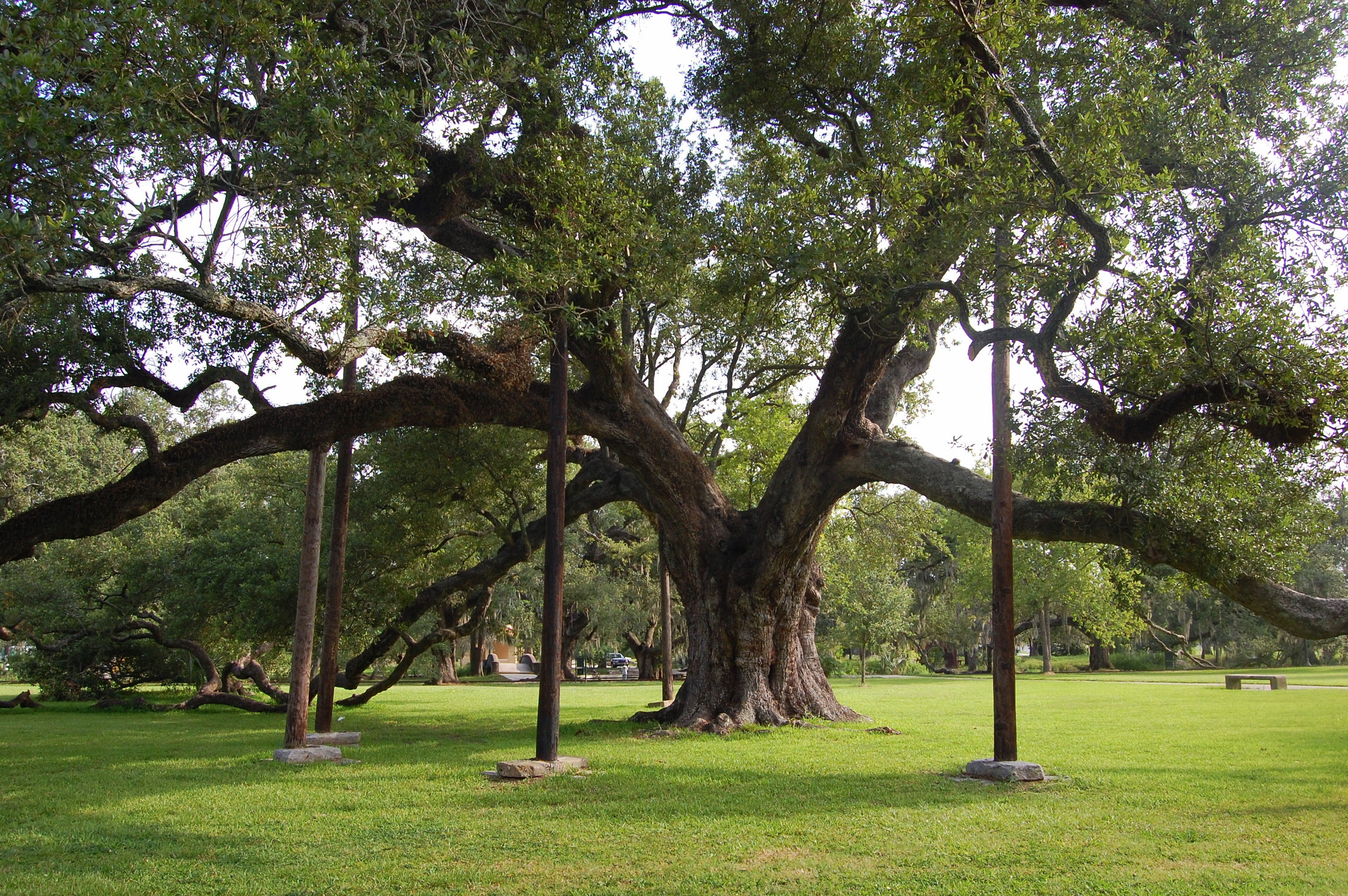 Explore City Park: Do you know the McDonogh Oak?